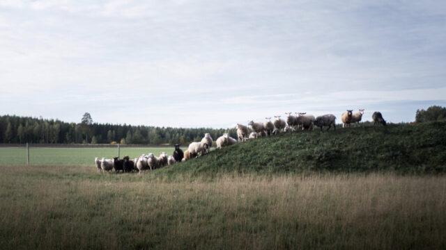 fin sheep